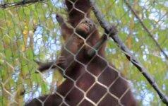 Pirmieji orangutaniuko žingsniai