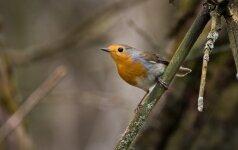 VU Botanikos sodas kviečia kartu pasitikti paukščius