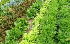 """Lietuviškų daržovių tyrimas: ar antspaudas """"ekologiška"""" apsaugo nuo nitratų?"""