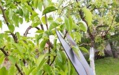 Vaismedžių genėjimas: visais metų laikais aktualus sodo darbas