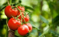 Įdomu: originali ukrainietiška pomidorų kolekcija