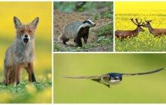Gamtos dienoraštis: keliautojas barsukas ir geltonoje pievoje lojanti lapė
