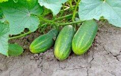 Liepos mėnuo: kokie darbai laukia darže bei sode
