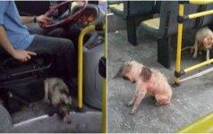 Autobuso vairuotojas tapo didvyriu: išgelbėjo išsigandusius šunelius nuo audros
