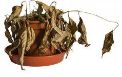 Kaip gelbėti kambarines gėles nuo neigiamo šildymo poveikio?