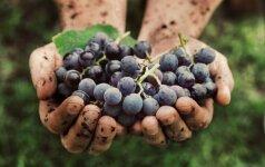 Kaip paruošti vynuoges kitam derlingam sezonui?