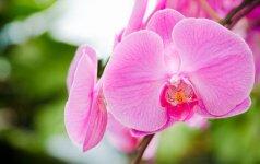 Kaip teisingai pasirinkti vazonus ir substratus orchidėjų persodinimui