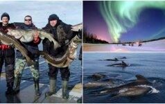 Žvejų išsvajota Norvegija: lietuvių pasakojimai apie didžiulius laimikius ir tobulą žuvies skonį