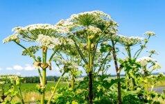 Siūloma priversti vietos valdžią ir žemės savininkus naikinti Sosnovskio barščius