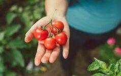 Agronomo patarimai, kaip išsirinkti pomidorų sėklas ir jas daiginti namuose