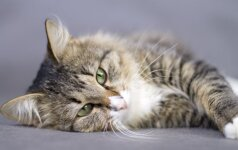 Kodėl tik naminės katės sugeba murkti