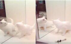 Katės reakcija, kai ji pamatė save veidrodyje