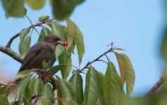 Kaip apsaugoti vaismedžius nuo paukščių, kad uogų liktų ir sodininko skrandžiui?