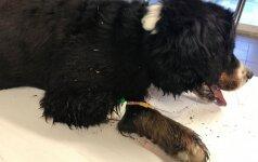 Nesuvokiamas žiaurumas Panevėžyje: trosu prie medžio pririštą šunį paliko mirti miškelyje