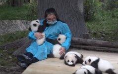 Svajonių darbas: už pandų apkabinimą – krūva pinigų