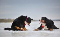 Dideli šunys užkariavo moters širdį: jiems svarbiausia leisti laiką su žmogumi