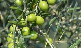 Kur dingsta alyvuogių aliejaus kokybė?