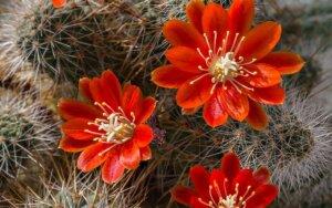 Kaktusų augintojams: apie jų priežiūrą, žydėjimą ir kompozicijas