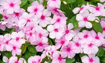 Pavėsį mėgstančios balkonų gėlės