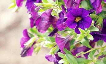 Gėlės, kurios padės nugalėti sodo kenkėjus