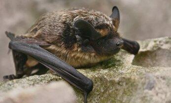 Kaip kelios sekundės šalia gali pražudyti šikšnosparnį?