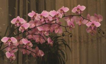 Įspūdžiai iš orchidėjų parodos: anksčiau ši gėlė buvo tik aukštuomenės privilegija