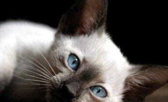 Senovės Egipte žmonės gedėjo kačių nusiskusdami antakius