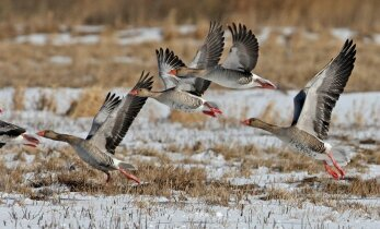 Tikras pavasaris: į Lietuvą jau grįžta paukščiai
