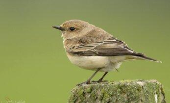 Lietuvoje atrasta nauja paukščių rūšis