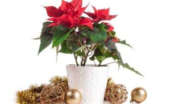 Kalėdinė žvaigždė – kaip rūpintis puošniąja puansetija