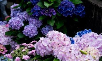 Užmiršti vėlyvo pavasario žiedai, kurie gali nuspalvinti bet kurį sodą