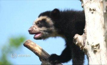 Nufilmuota: akiniuotojo lokio jauniklis primą kartą įlipo į medį