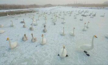 Šaltą žiemą Kinijoje vandens parko darbuotojai padeda gulbėms ir gaigalams