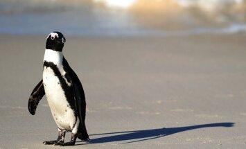 Afrikinis pingvinas (Speniscus demersus)