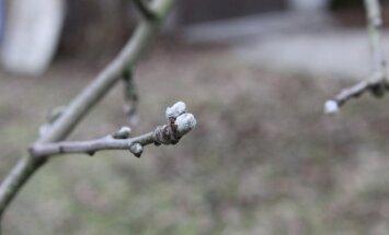 Obelis užmezgė pumpurus
