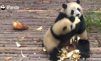 """""""Slaptas pandų gyvenimas"""" (XIV): maistu nesidalinanti mama"""