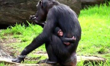 Sidnėjaus zoologijos sode šimpanzės jauniklis gyvena įsikibęs į motiną