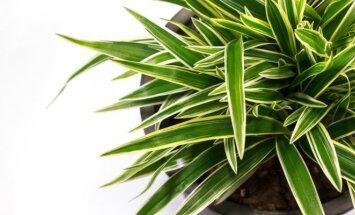 Lapiniai augalai, kuriems šiluma kaulų nelaužo
