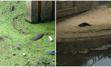 Nugaišę gyvūnai Rąžės upėje
