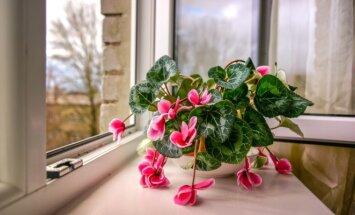Kaip rudenį ir žiemą išvengti kambarinių augalų priežiūros klaidų