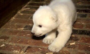 Berlyno zoologijos sode paaiškėjo baltojo lokio mažylio lytis