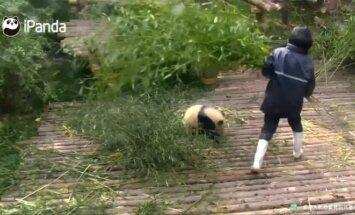 """""""Slaptas pandų gyvenimas"""" (X): prižiūrėtojo kojų nepaleidžianti panda reikalauja daugiau dėmesio"""