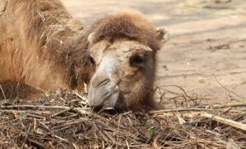 Kauno egzotiškiausiems gyvūnams – 3500 kg sveriančios dovanos