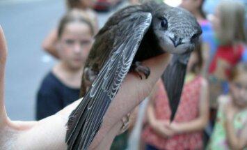Čiurliai - miestuose gyvenantys paukščiai