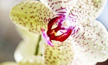 Dažniausios klaidos auginant skirtingas orchidėjų rūšis
