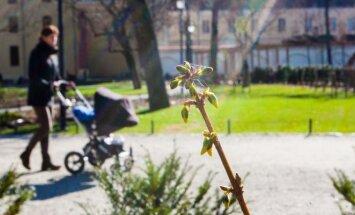 Pavasaris, gėlės, pumpurai