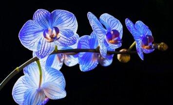 Orchidėjos interjere: kaip geriausia parinkti vietą