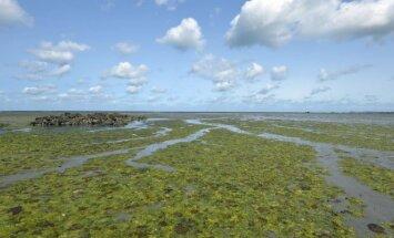 Jūros dumbliais nuklota pakrantė Saint-Brieuc įlankoje, Bretanės regione, Prancūzijoje