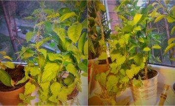 Vilnietis ant palangės augina dilgėles