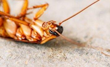 Jei pavargote kovoti: įdomūs faktai apie tarakonus